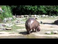 World_s_Biggest_Fart_The_Hippo