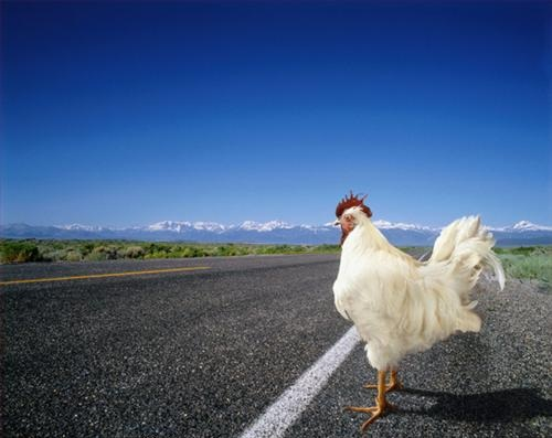 chicken-cross-the-road-11