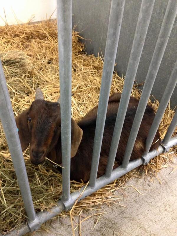 goat 7