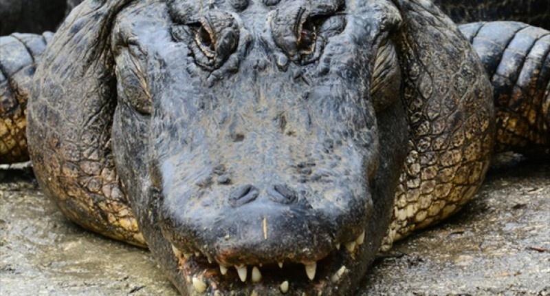 alligators-Shutterstock-800x430-800x430