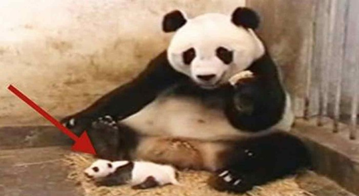 Panda-700x383